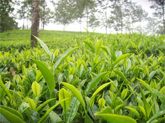 Tea Plantations Of Kerala Tea Estates Kerala Kerala