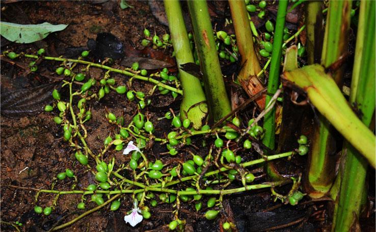 coffee plantations in wayanad Wayanad coffee plantation stay experience | thrillophilia.